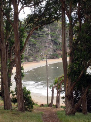 Eucalyptus trees with beach