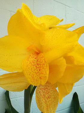 Yellow gladiola 9-9-11