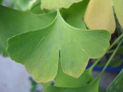 Gingko leaf 10-10