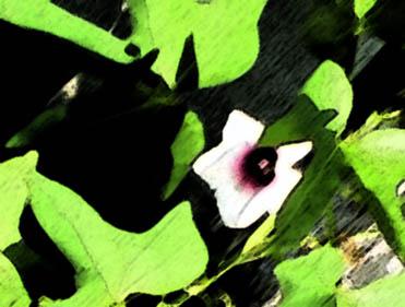Sweet potato flower photoshopped
