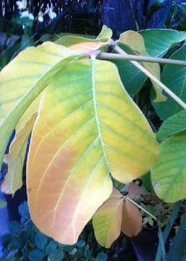 Big leaf 11-11