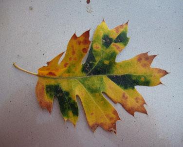 Oak leaf 1 09