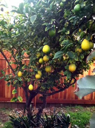 November lemons