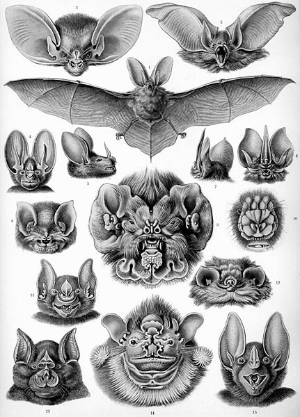 431px-Haeckel_Chiroptera