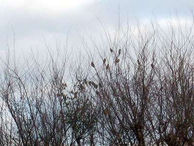 Mystery birds inthe elm 1-12