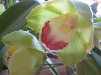 Green and red orchid