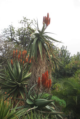 Aloes red and dark orange