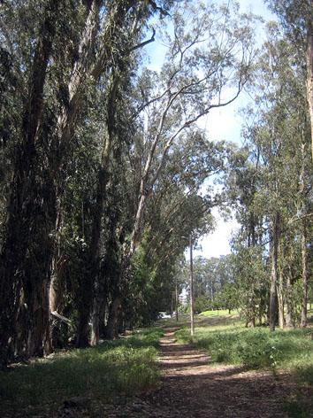 Eucalyptus grove at bird sanctuary
