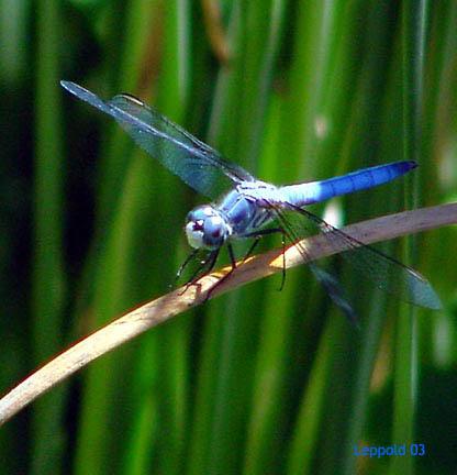 Blue dragonfly 7-2003 sm