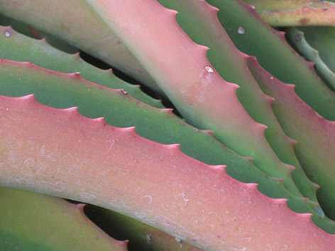 Pink and green aloe leaves