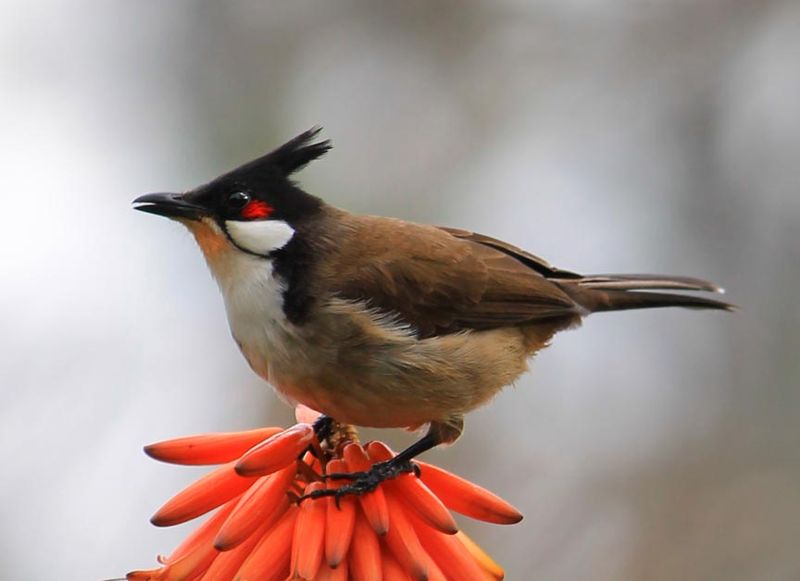 Huntington Lib desert gardens orange aloe flowers w unkn black  crowned bird 14 red wiskered bulbul sm